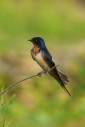 An adult Barn Swallow perched on a branch overlooking a nearly dried lotus pond