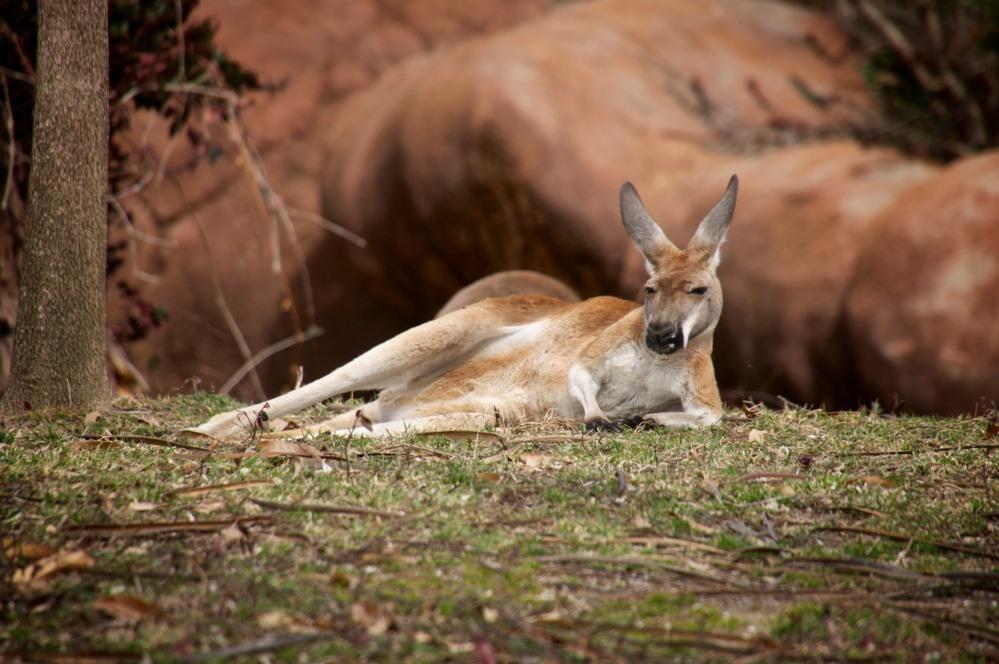 Kangaroo Chillin 1